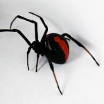 【毒グモ】セアカゴケグモの毒の症状って?気をつけることは?