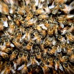 蜂の種類図鑑!写真・画像もあるよ!!