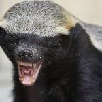 怖いもの知らずな動物、ラーテルとは!?どんな生態?