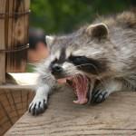アライグマをペットにするの禁止!!超凶暴!?