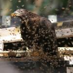 ハチクマvsスズメバチ【動画】!!ハチクマが刺されない理由とは!?