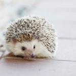 ハリネズミがペットで人気!!なつくの?値段、寿命、飼い方は?