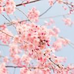 桜の種類(名前)ってどれくらい数あるの【画像】?開花時期は?