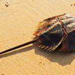 カブトガニの血液は青色!?生きた化石の生態とは!飼育はできるの??