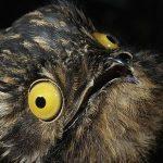 タチヨタカはかわいい!?怖い!?鳴き声・生態は?動物園で見れるの??