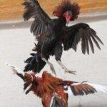 軍鶏の戦いが熱い!!【動画】闘鶏にかけるニワトリと軍鶏師の世界がヤバイ。