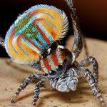 クジャクグモ(ピーコックスパイダー)の求愛ダンスが美しい!?どんな生態のクモ!?