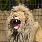 ライオンの「たてがみ」はなぜ生える!?色にも意味が?たてがみの無いライオンも!?