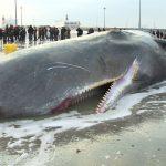 クジラが大爆発する!!【動画】爆発の理由・原因はなんだ!?