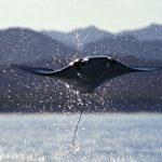 マンタ、ミニマンタが泳ぐ、空を飛ぶ!【動画】イトマキエイたちの生態とは!?
