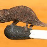 世界最小のミクロヒメカメレオンが小さっ!!【動画】販売してるの?