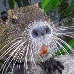 ヌートリアが日本に生息、駆除・捕獲対象に!毛皮や料理に利用できる!?