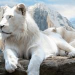 ホワイトライオンはアルビノじゃない!?【画像】どこの動物園で見れる?