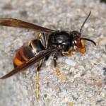 外来スズメバチ、ツマアカスズメバチってどんなハチ!?危険なの?