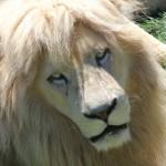 ネコ科の動物一覧!美しいニャンコたちを選んでみた。