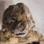 絶滅したホラアナライオンを永久凍土で発見!!【画像】子供のミイラ!?