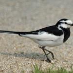 街中でよく見る鳥の種類図鑑!白黒、小鳥…アイツの名前、鳴き声は?