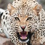 ジャガーはワニまで捕食する【動画】!?狩り・生態、ヒョウとの違いは!?