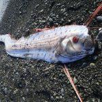 深海魚の打ち上げは地震の前兆!?関係あるのか、その根拠は!?