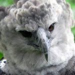 オウギワシの握力がヤバイ!?【動画】最強の猛禽類がナマケモノを襲う!!