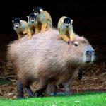 カピバラの鳴き声って?【画像】温泉、動物園のカピバラが可愛い!ペットにも!