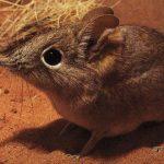 ハネジネズミのスピードと可愛さがヤバイ【動画】!!ペットの飼育は可能?