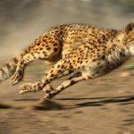 足が速い動物ランキング!!チーター並の速さを誇るのは!?