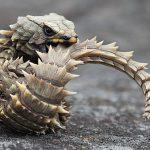 アルマジロトカゲがかっこいい!!生態、飼育方法、寿命、値段は?