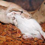 ヘビの食事と消化はどうなってるの!?【動画】驚きの消化能力が明らかに!!