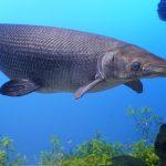 タマゾン川に熱帯魚やガー、ピラニアが!?多摩川の外来種がヤバイ件。。