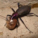 マイマイカブリがカタツムリを喰らう!生態やエサ、幼虫の意外な姿とは!?