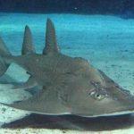 サメとエイの違いとは!?サカタザメ、カスザメとかがサメかエイかわからない。。
